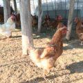 幸せな鶏の有精卵